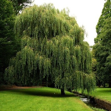 weeping_willow_3_by_awjay-d2xwobr