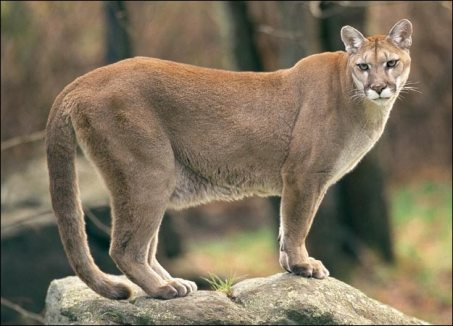 cougar-picture